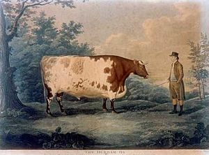 The Durham Ox: yet to come in 1778