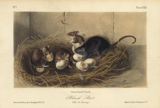 John James Audubon. Black Rat, Plate XXIII