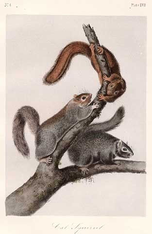 John James Audubon Cat Squirrel, Plate XVII