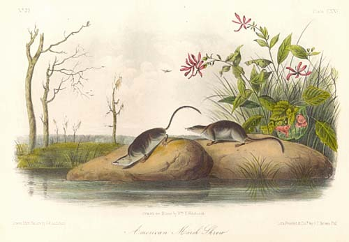 John James Audubon. Marsh Shrew, Plate CXXV
